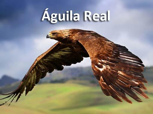 aguila_real_montejosierra
