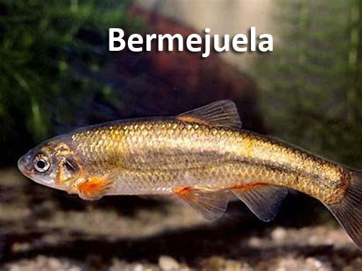 bermejuela_montejosierra