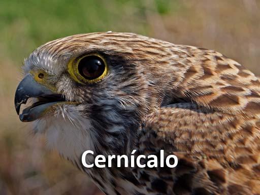 cernicalo_montejosierra