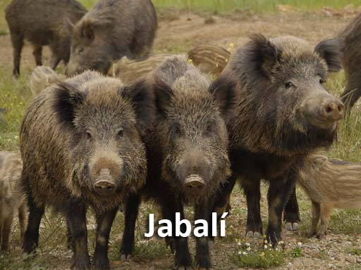 jabali_montejosierra
