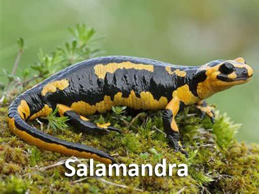 salamandra_montejosierra